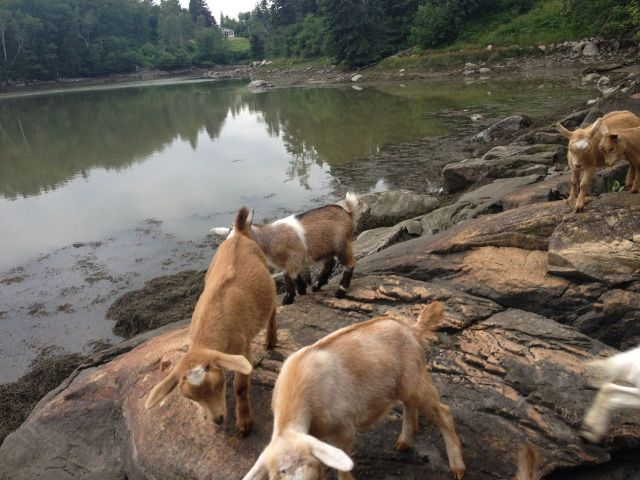 Baby Goats on the Rocks