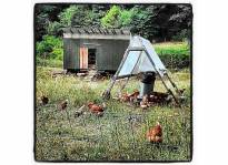 Chickens_Instagram